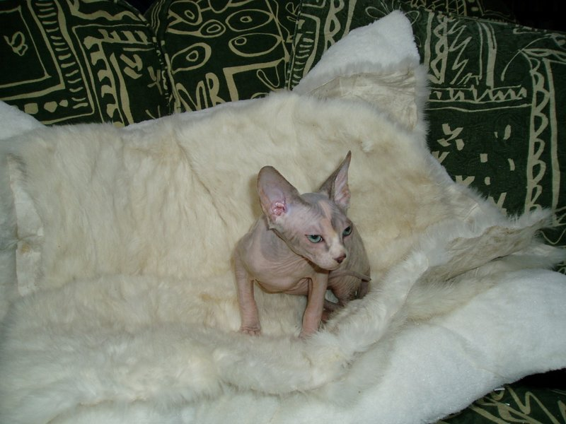Sphynx Cat Clothing Australia