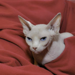 Sphynx Cat Blondie