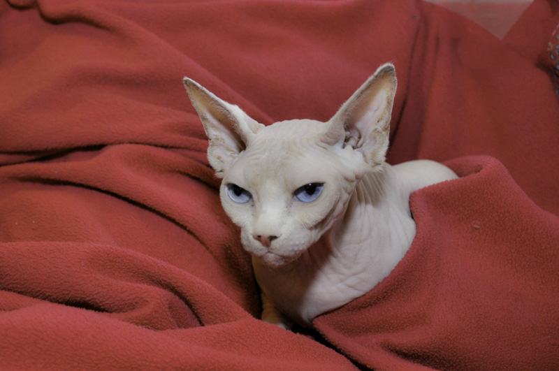 Sphynx Cat Kittens Price