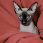Sphynx cat Truffle