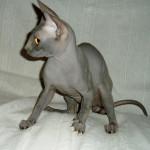 Sphynx-kitten-Vulcan